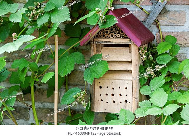 Insect hotel / solitary bee house, ladybird and green lacewing (Chrysopidae) nesting box in blackberry bush in garden