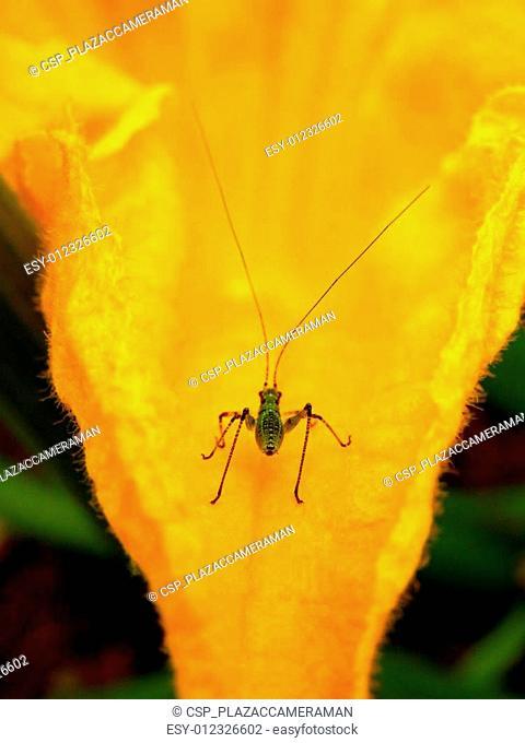 Speckled bush-cricket nymph