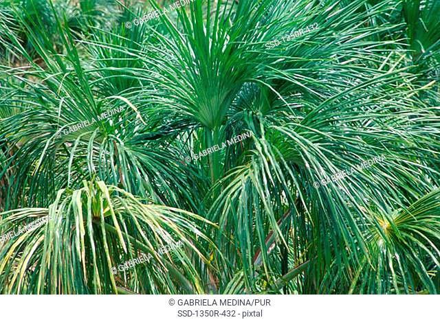 Moriche palm trees, Venezuela