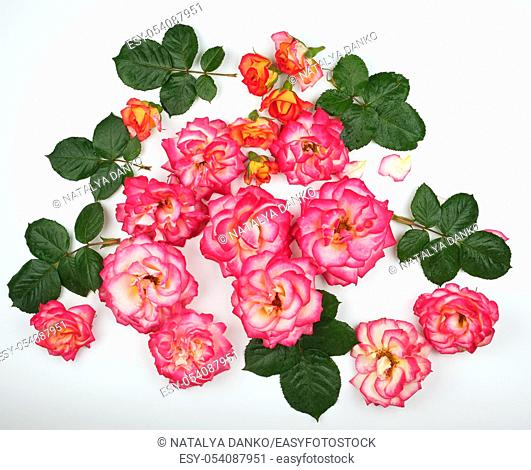 buds of blooming pink roses with green leaves on a white background, top view