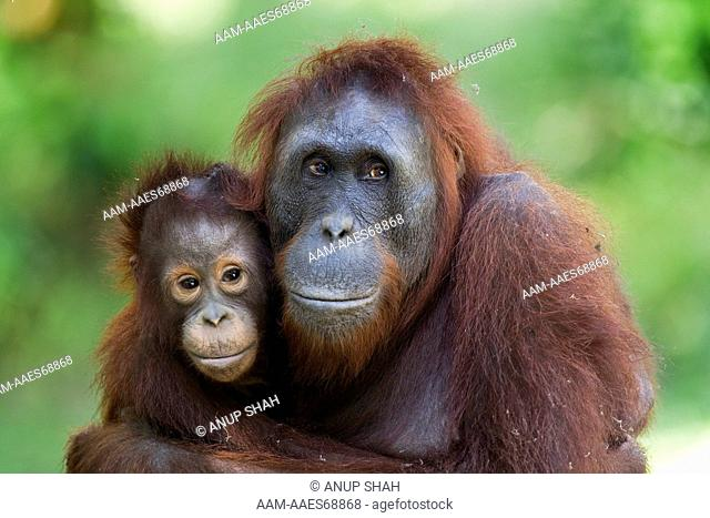 Bornean Orangutan female 'Unyuk' cuddling her daughter 'Ursula' aged 4 - portrait (Pongo pygmaeus wurmbii). Camp Leakey, Tanjung Puting National Park