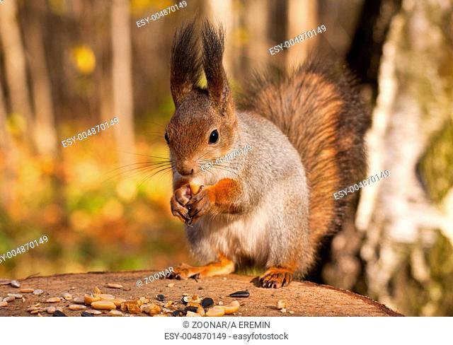 Red eurasian squirrel