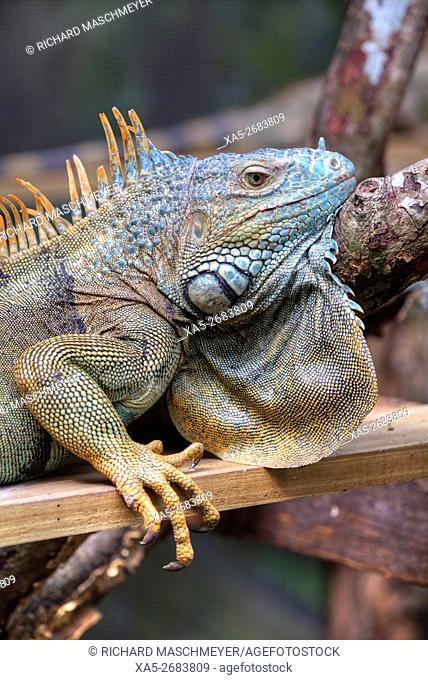 Green Iguana (Iguana Iguana), Green Iguana Project, San Ignacio, Belize