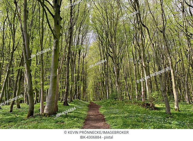 Hiking trail in forest, European beech (Fagus sylvatica) trees in spring, Mecklenburg-Western Pomerania, Germany