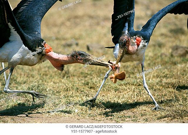 Marabou Stork, leptoptilos crumeniferus, Adults with Prey, Kenya