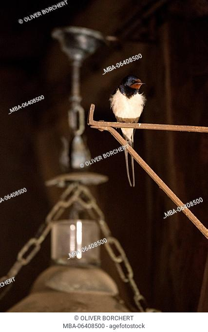Swallow, Hirundo rustica, barn