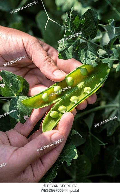 Woman's hand picking peas, close-up