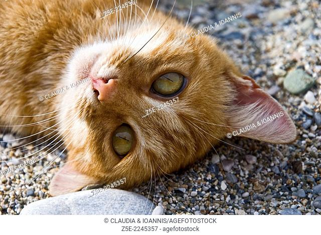 Ginger cat lying on its back on a pebble beach and looking at camera - Pelion Peninsula, Thessaly, Greece