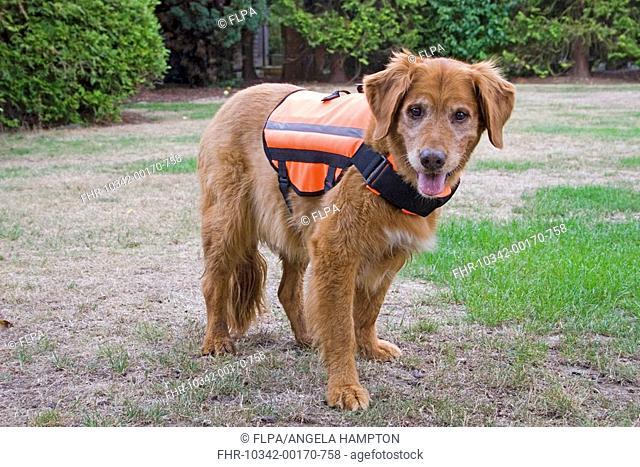 Domestic Dog, Golden Retriever, elderly dog, wearing reflective jacket, England