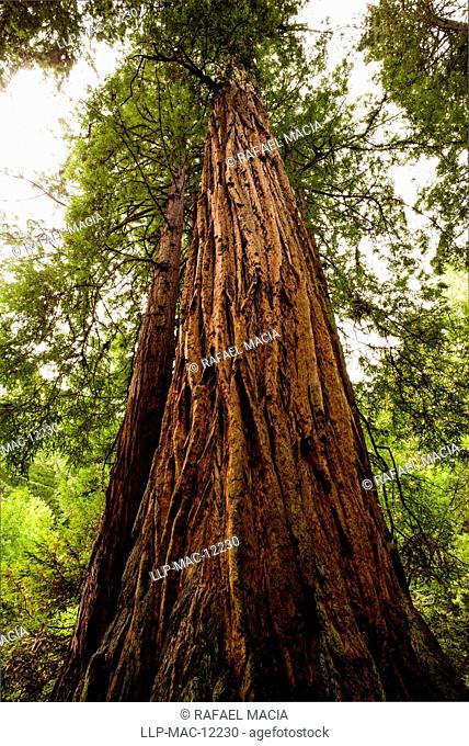 USA, California, Marin County, Coast Redwood (Sequoia sempervirens). Old growth Coast Redwood trees, (Sequoia sempervirens)