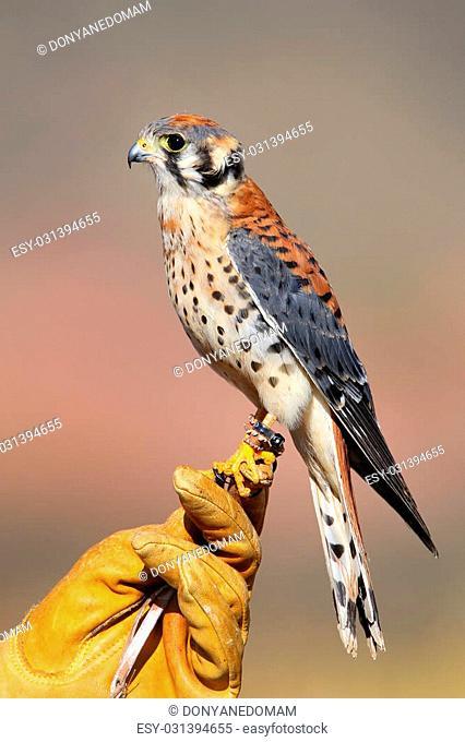 American kestrel (Falco sparverius) sitting on falconer glove