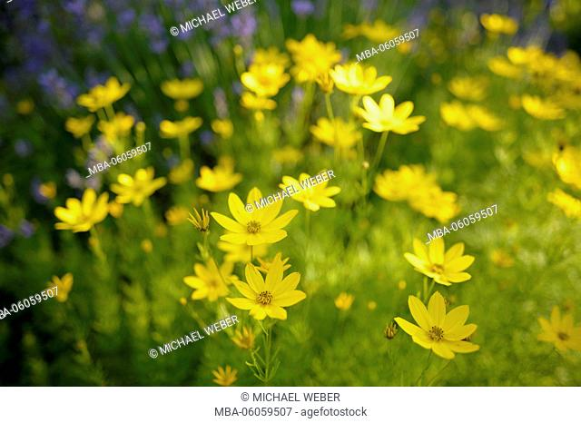 tickseed (Coreopsis), Baden-Wurttemberg, Germany