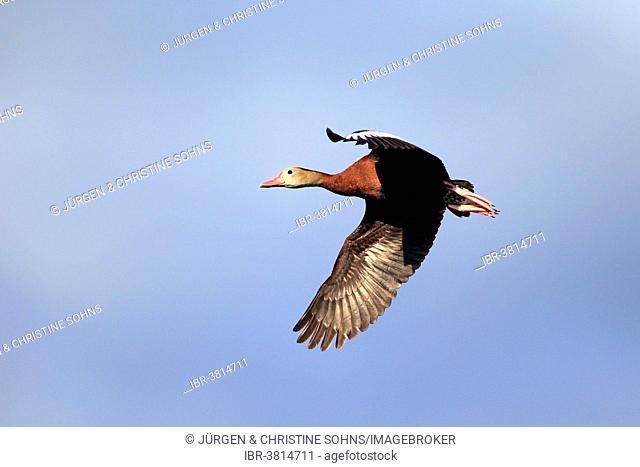 Black-bellied Whistling Duck (Dendrocygna autumnalis), flying, adult, Wakodahatchee Wetlands, Delray Beach, Florida, United States