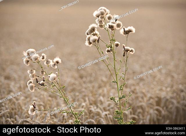 Cirse des champs, Plantes adventices dans un champ de cereales au coucher du soleil, Departement d'Eure-et-Loir, region Centre-Val-de-Loire, France