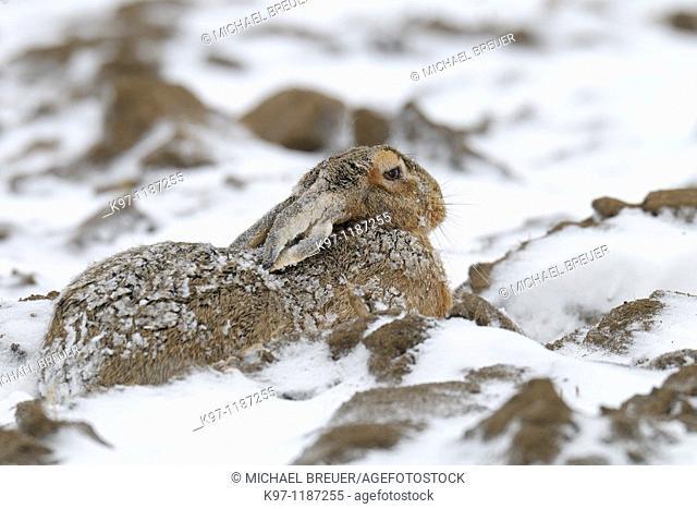 European brown hare (Lepus europaeus) in winter, Germany