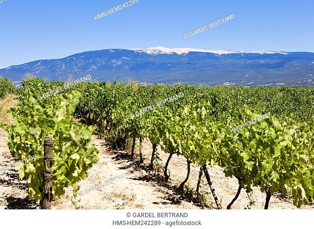France, Bouches du Rhone, vineyards near Sainte Victoire Mountain