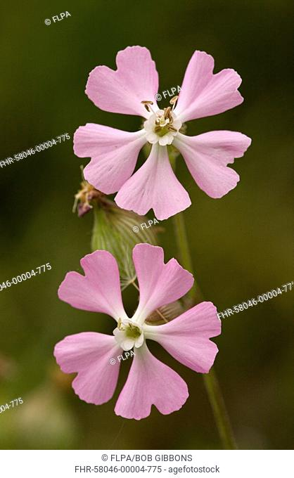 Sand Catchfly Silene conica ssp subconica var grisebachii close-up of flowers, Bulgaria, may