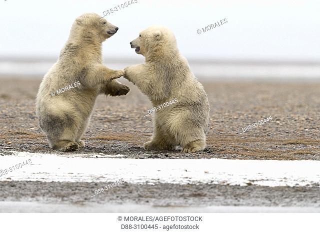 United States, Alaska, Arctic National Wildlife Refuge, Kaktovik, Polar Bear( Ursus maritimus ), babies playing along a barrier island outside Kaktovik, Alaska