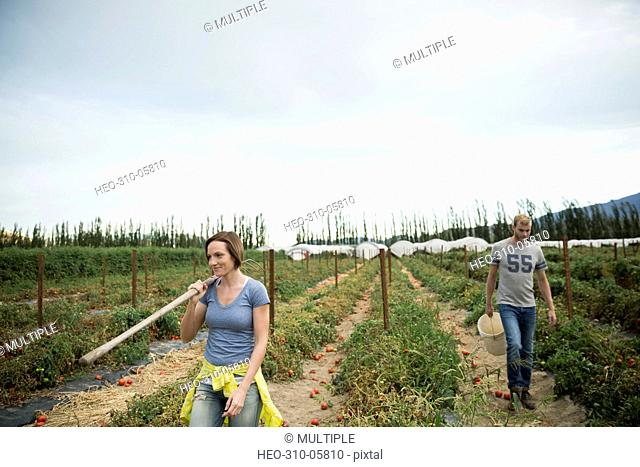Workers harvesting tomato crop on farm
