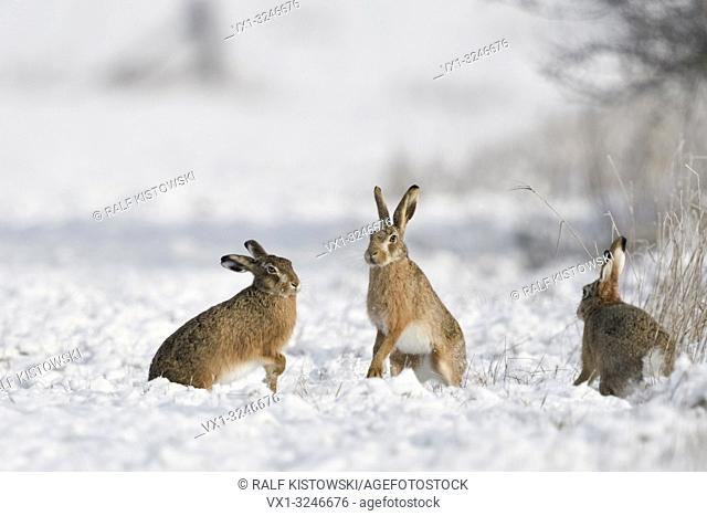 Brown Hare / European Hare / Feldhase ( Lepus europaeus ) in winter, three hares playing, fighting in snow, wildlife, Europe
