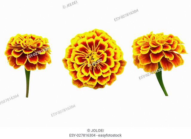 French Marigolds isolated on white background