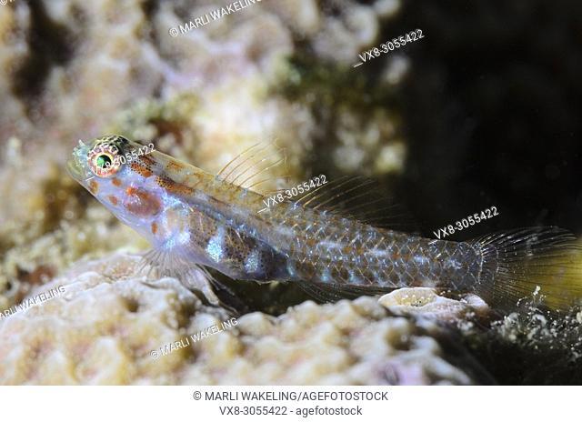 Melasma Pygmygoby, Eviota melasma, Lembeh Strait, North Sulawesi, Indonesia, Pacific