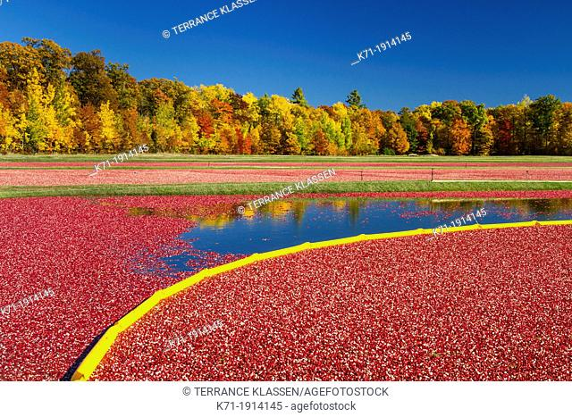 The Vilas Cranberry Co., flooded marsh with fall foliage color at Manitowish Waters, Wisconsin, USA