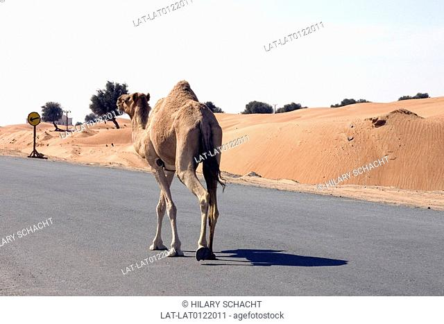 Camel wandering down the road following the road signs