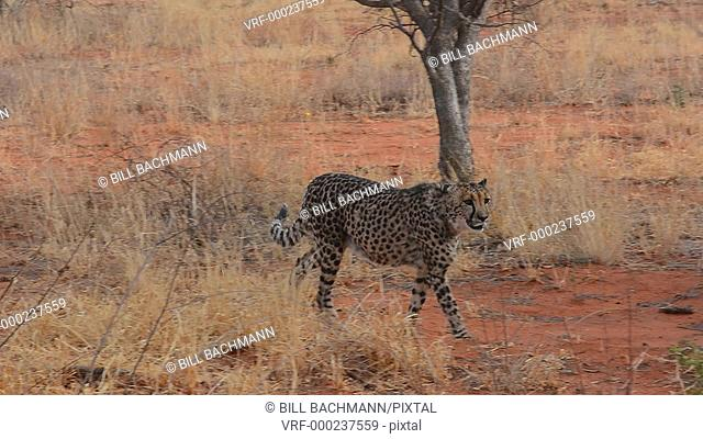Namibia Africa cheetah in wild at Okonjima Private Reserve at Okonjima Bush Camp on safari at Africat Foundation to rescue wild animals