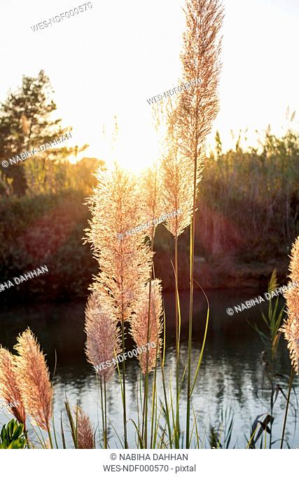 Reed on river at sunset