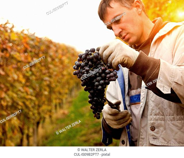 Worker pruning red grapes of Nebbiolo, Barolo, Langhe, Cuneo, Piedmont, Italy