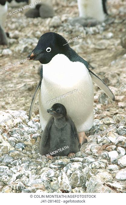Adelie penguins (Pygoscelis adeliae) with chick. Brown Bluff. Antarctic Peninsula. Antarctica