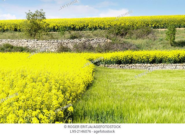 Fields of Canola Brassica napus flowered in Spring, Spain