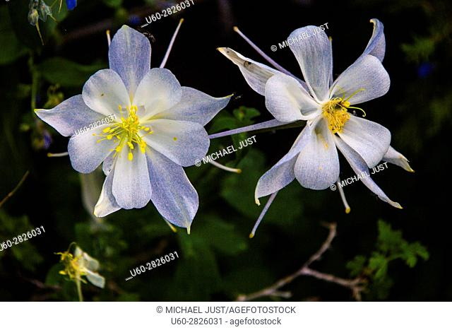 Columbine bloom at Cedar Breaks National Monument in Southern Utah