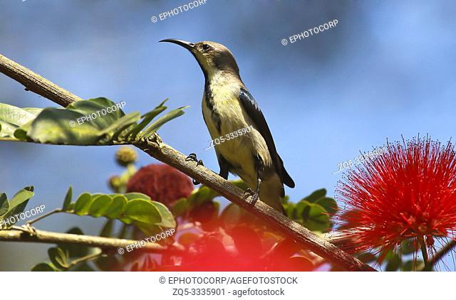 Loten sunbird, male in eclipse plumage, Cinnyris lotenius, Tholpetty Kerala, India
