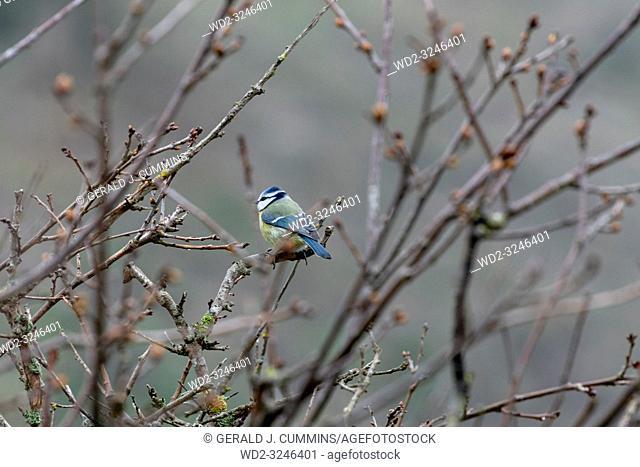 Wildlife, bird, Male, Blue Tit on Branch