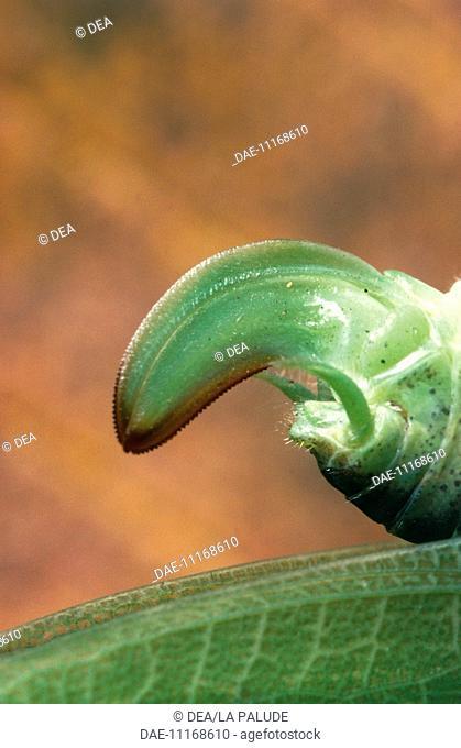 Great green Bush-cricket (Tettigonia viridissima), Tettigoniidae