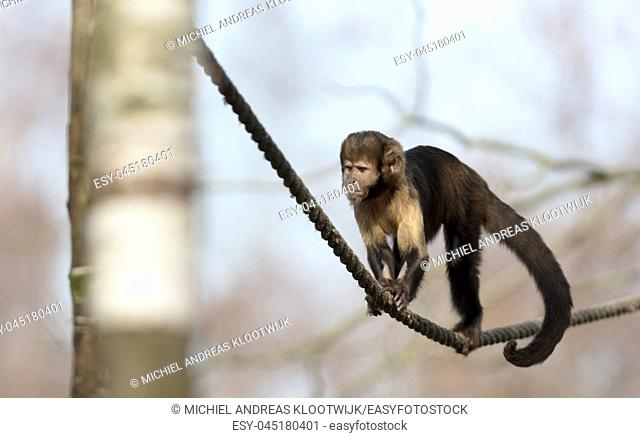Golden-bellied capuchin climbing a thick rope, selective focus