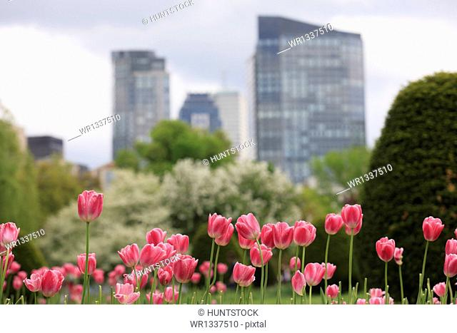 Tulips in the Boston Public Garden with city skyline in the background, Boston, Massachusetts, USA