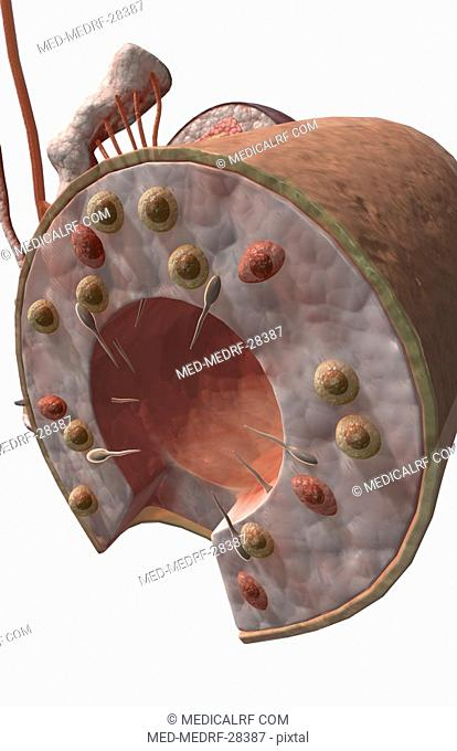 Seminiferous tubules of the testes