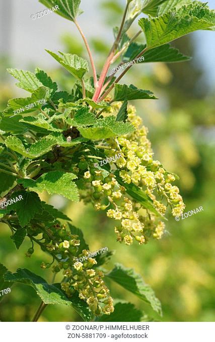 Ribes rubrum, Rote Johannisbeere, Red currant, Blüten