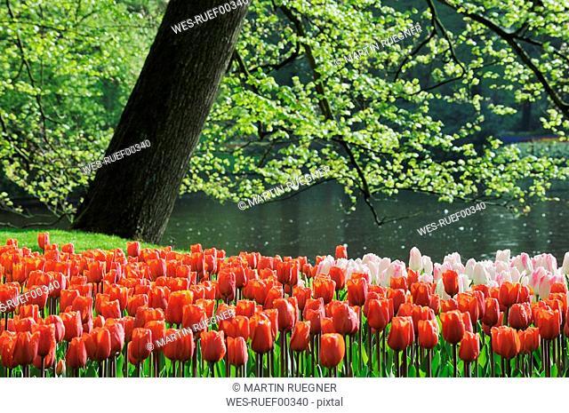 Netherlands, Keukenhof Park, Tulips abloom