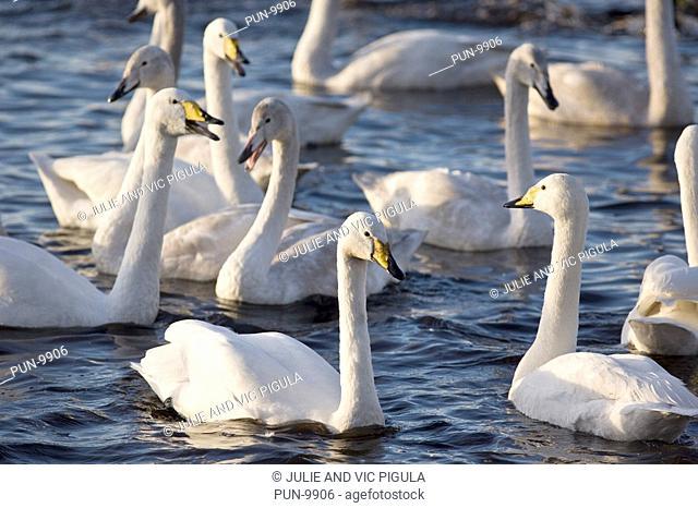 Flock of whooper swans Cygnus cygnus swimming on lake at Martin Mere Wildfowl and Wetlands Centre, Burscough, Lancashire