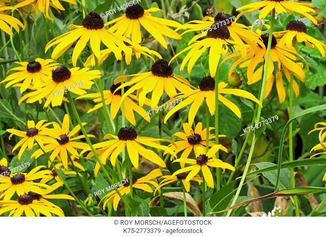 black-eyed susan, rudbeckia