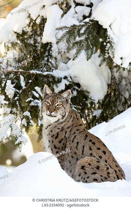 European Lynx (Lynx lynx), Nationalpark Bayerischer Wald, Bavarian Forest National Park, Germany