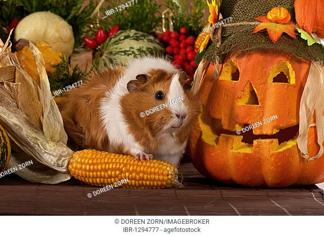 Guinea pig with jack-o-lantern