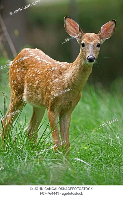 White-tailed Deer (Odocoileus virginianus). New York. Fawn. Found over much of the U.S.-southern Canada and Mexico and introduced elsewhere in the world