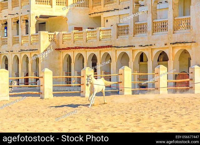 Purebred white Arabian horse runs in a paddock in Doha center. The traditional stables are part of old Souq Waqif market area