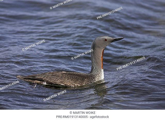 Red-Throated Loon, Gavia stellata, Skaftafell, Iceland, Scandinavia, Europe, Red-throated loon, Red-throated loons, bird, birds, migrating bird, migrating birds