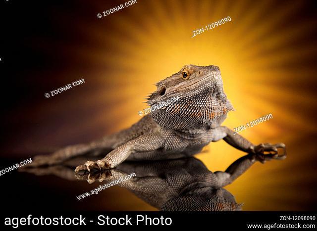 Animal Lizard, Bearded Dragon on sun background
